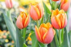 Piękni tulipany w tulipanu polu z zielonym liścia tłem przy zimy lub wiosny dniem złamany tulipan Obraz Royalty Free