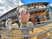 Piękni uśmiechnięci konie Obraz Royalty Free