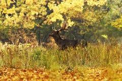 Piękni ugorów rogacze w jesień lesie obrazy stock