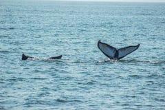 Piękni wielorybi ogony para obrazy stock