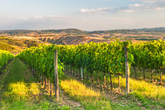 Piękni winnicy na wzgórzach pokojowy Tuscany, Włochy Zdjęcie Stock
