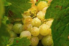 Piękni winogrona i winogrono liście z dewdrops1 Obrazy Royalty Free