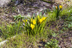 Piękni wiosna krokusa chrysanthus koloru żółtego kwiaty Obrazy Royalty Free