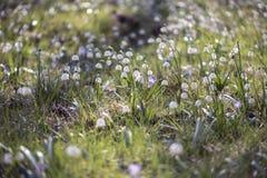 Piękni wiosna płatki śniegu na zielonej łące Obrazy Stock
