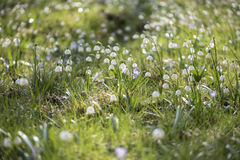 Piękni wiosna płatki śniegu na zielonej łące Obraz Stock