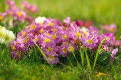 Piękni wiosna pierwiosnki kwitną, primula polyanthus lub Odwiecznie pierwiosnek z zielonymi liśćmi w ogródzie poj?cia odosobniony zdjęcie stock