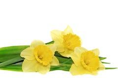 Piękni wiosny trzy kwiaty: żółty narcyz (Daffodil) zdjęcia royalty free