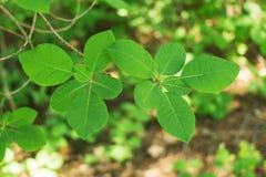 Piękni wiosny zieleni liście Deciduous las obrazy royalty free