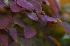 Piękni złoci czerwoni nigeryjscy roślina liście Fotografia Stock