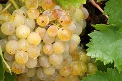 Piękni złoci winogrona i winogrono liście z wodą droplets1 Fotografia Royalty Free
