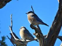 Piękni Zachodni bluebirds zdjęcia royalty free