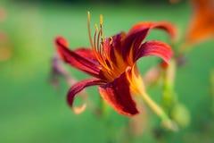 piękni zbliżenia głębii f kwiatu płatki czerwoni Fotografia Royalty Free