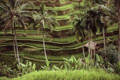 Piękni zieleń tarasu irlandczyka pola na Bali Zdjęcie Royalty Free