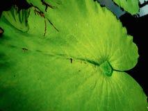 Piękni zieleni lotosowi liście w wodnym stawie fotografia royalty free