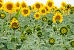 piękni ziemi uprawnej pola słoneczniki Obrazy Stock