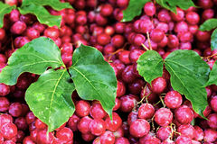 Pięknie kłaść out wiązki winogrona z liśćmi Piękny tło Zdjęcia Royalty Free