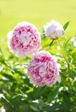 Pięknie kształtujący teren ogród Peoni okwitnięcie Fotografia Royalty Free