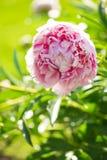 Pięknie kształtujący teren ogród Peoni okwitnięcie Obrazy Royalty Free