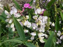 Pięknie kwitnąć roślina słodkiego groch Zdjęcie Royalty Free