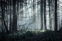 Pięknie markotny las z słońcem promienieje przybycie przez drzew na mglistym zima dniu fotografia royalty free