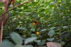 Pięknie pozujący pomarańczowy i czarny motyl; otwiera skrzydła na kwiacie fotografia royalty free