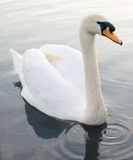 pięknie się pływać łabędzie Zdjęcie Royalty Free
