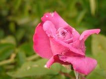 Pięknie Unikalna menchii róża w deszczu Obraz Royalty Free