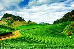 Piękno świeża zielona herbata Zdjęcie Royalty Free
