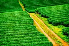 Piękno świeża zielona herbata Obraz Stock