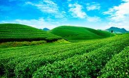 Piękno świeża zielona herbata Obrazy Stock