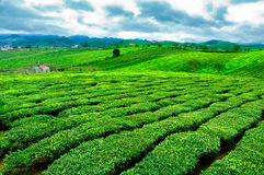Piękno świeża zielona herbata na Mocy Chau hightland Fotografia Royalty Free