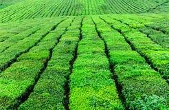 Piękno świeża zielona herbata na Mocy Chau hightland Obrazy Stock