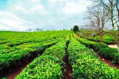 Piękno świeża zielona herbata na Mocy Chau hightland Zdjęcia Royalty Free