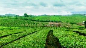 Piękno świeża zielona herbata na Mocy Chau hightland Zdjęcia Stock