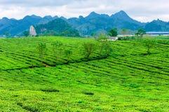 Piękno świeża zielona herbata na Mocy Chau hightland Zdjęcie Royalty Free