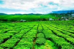 Piękno świeża zielona herbata na Mocy Chau hightland Obraz Royalty Free