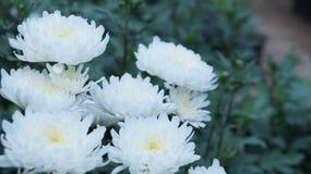 Piękno biali kwiaty w wieczór zdjęcia stock