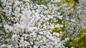 Piękno biali kwiaty w wiośnie zamkniętej w górę zbiory