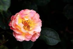 Piękno chińczyk wzrastał Fotografia Stock