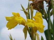 Piękno cytryna Barwiony Glads w kwiacie fotografia stock