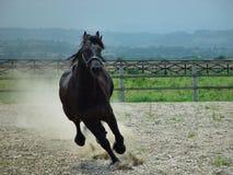 piękno czarny koń, Zdjęcia Royalty Free