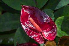 Piękno czerwień Obraz Stock