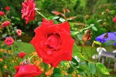 Piękno czerwieni róża obraz royalty free