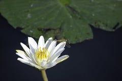 Piękno dragonfly na Białego Lotus kwiacie w stawach zdjęcia royalty free