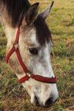 Piękno koń Obrazy Royalty Free