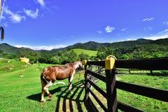 Piękno koń Minas Gerais obraz stock