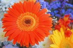 Piękno kolory, pomarańczowa stokrotka radość utrzymanie Zdjęcie Stock