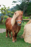Piękno konika koń Obraz Royalty Free