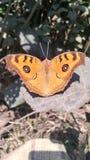 Piękno motyl zdjęcia stock
