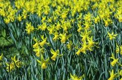 piękno okwitnięcia Easter narcyz Zdjęcia Royalty Free